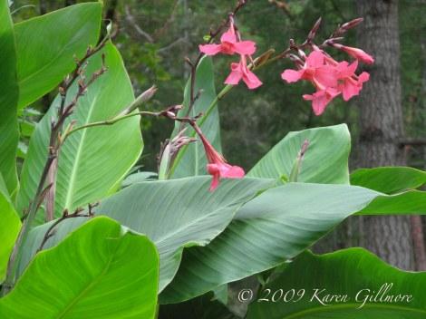 Canna Lilies 2