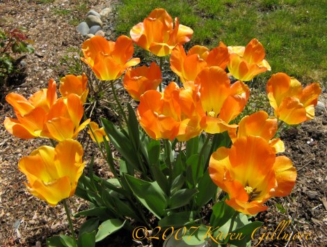 orange tulips spray