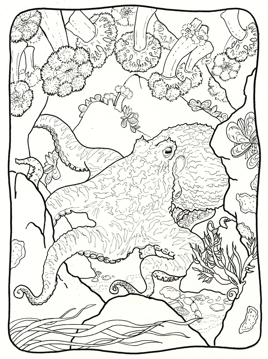GALLERY: Giant Pacific Octopus Drawing