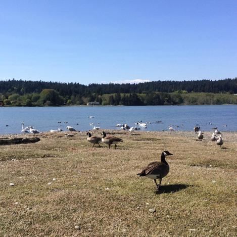 Birds at Esquimalt Lagoon