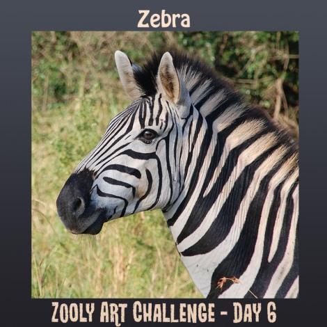 6B zebra