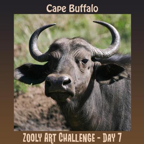 7B Cape Buffalo