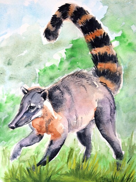 Ring-tailed coati.jpg
