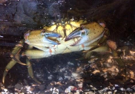 boxing crab.JPG