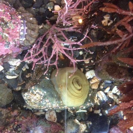 chiton and coraline algae.jpg