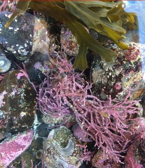 coraline algae.jpg