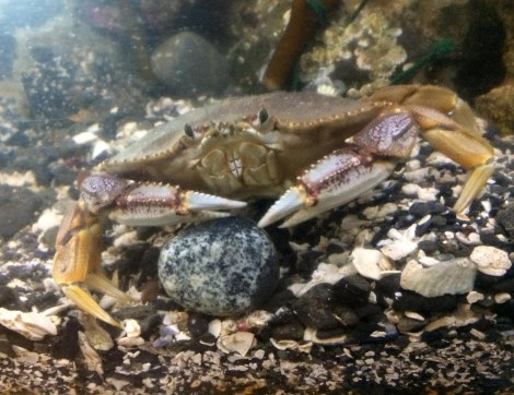 Dungeness crab drummer.JPG