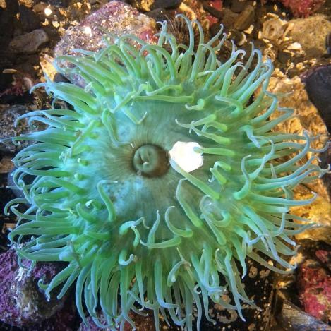 Green Anemone.jpg