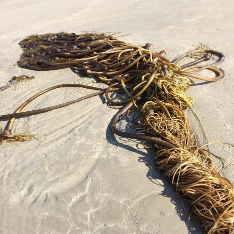 Kelp tangle 2.jpg