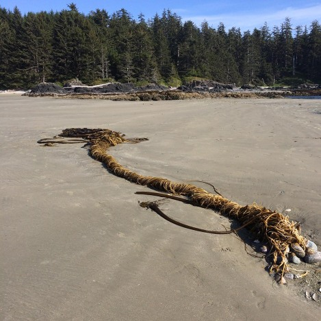 Kelp tangle.jpg