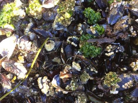 Mussel colony.jpg