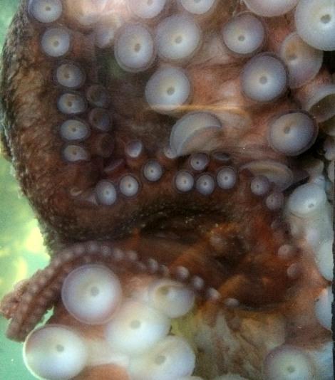 Octopus suckers.jpg