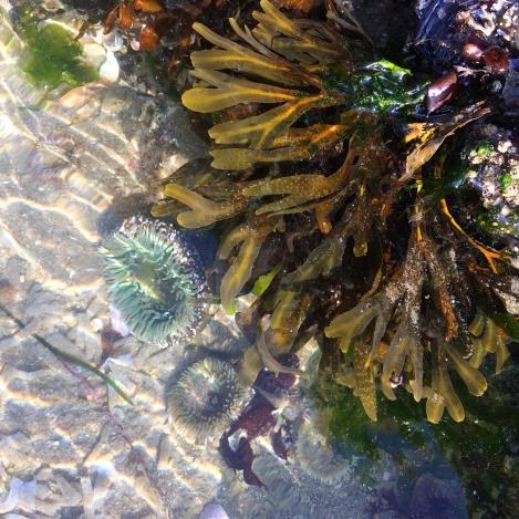 Rockweed & anemones.jpg
