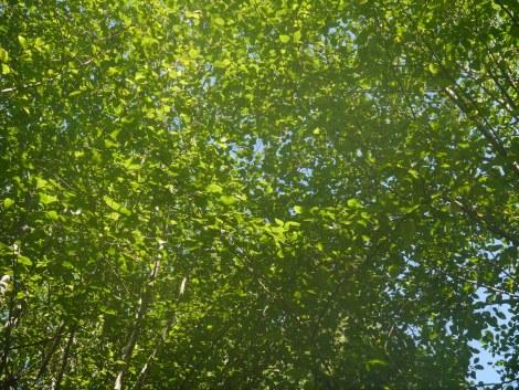 trees overhead.JPG