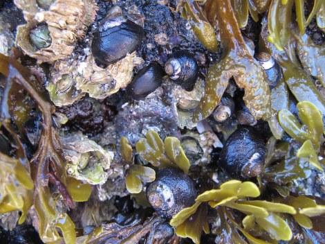 Turban shells.JPG