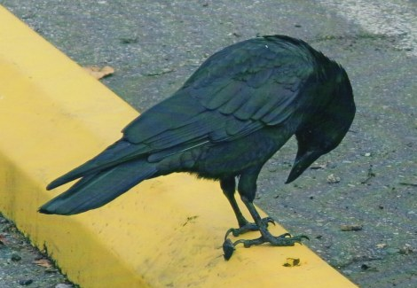 crow photo.jpeg