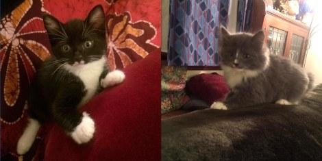 Arthur and Boudica kittens